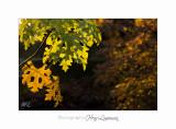 2017 11  IMG_2169 arbre automne PHOENIX.jpg