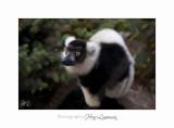 2017 10 IMG_2182 PHOENIX lemurien.jpg