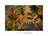 2017 11  IMG_2192 arbre automne PHOENIX.jpg