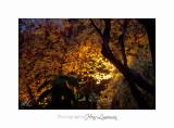 2017 10 IMG_2292 arbre automne PHOENIX.jpg