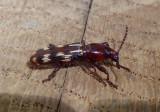 Arrhenodes minutus; Oak Timberworm Beetle; female