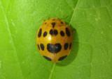 Epilachna borealis; Squash Lady Beetle