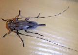 Acanthocinus nodosus; Lesser Pine Borer; female