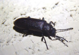 Strongylium crenatum; Darkling Beetle species