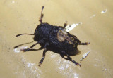 Piesocorynus plagifer; Fungus Weevil species; female