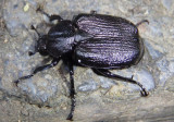 Osmoderma scabra; Scarab Beetle species