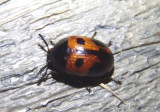 Diaperis maculata; Fungus Beetle species