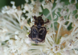 Valgus canaliculatus; Flower Chafer species