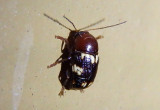Cryptocephalus badius; Case-bearing Leaf Beetle species