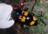 Megalodacne heros; Pleasing Fungus Beetle species