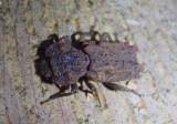 Phellopsis obcordata; Eastern Ironclad Beetle