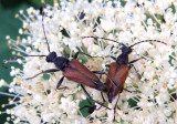 Brachyleptura champlaini; Flower Longhorn species