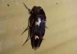 Dircaea liturata; False Darkling Beetle species