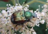 Trichiotinus bibens; Flower Chafer species