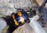 Nicrophorus tomentosus; Tomentose Burying Beetle