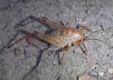Ceuthophilus Camel Cricket species