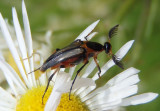 Macrosiagon limbata; Wedge-shaped Beetle species; male