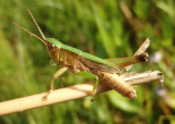 Dichromorpha viridis; Short-winged Green Grasshopper; male