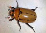 Pelidnota punctata; Grapevine Beetle