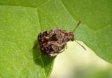 Gibbobruchus mimus; Redbud Bruchid