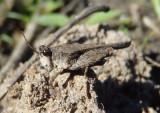 Tetriginae Pygmy Grasshopper species