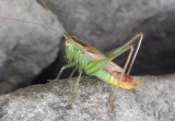 Conocephalus brevipennis; Short-winged Meadow Katydid; male