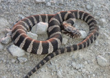 Northern Water Snake; juvenile