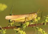 Schistocerca lineata; Spotted Bird Grasshopper