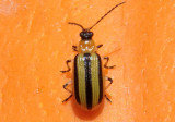 Acalymma vittatum; Striped Cucumber Beetle