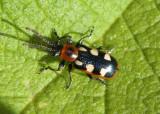 Crioceris asparagi; Asparagus Beetle; exotic