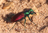 Cicindela scutellaris scutellaris; Festive Tiger Beetle