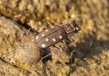 Cicindelidia ocellata; Ocellated Tiger Beetle