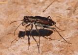 Cicindelidia punctulata chihuahuae; Punctured Tiger Beetle