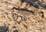 Cicindelidia tenuisignata; Thin-lined Tiger Beetle