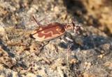 Ellipsoptera marutha; Aridland Tiger Beetle