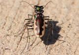 Eunota circumpicta johnsoni; Cream-edged Tiger Beetle