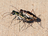 Eunota circumpicta johnsoni; Cream-edged Tiger Beetle pair