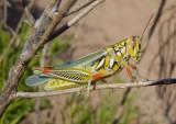 Hesperotettix viridis viridis; Snakeweed Grasshopper