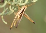 Mermiria bivittata maculipennis; Two-striped Mermiria