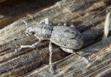 Ophryastes Broad-nosed Weevil species