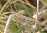 Paropomala pallida; Pale Toothpick Grasshopper; female