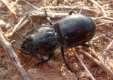 Pasimachus depressus complex; Ground Beetle species