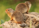 Columbian Ground Squirrels