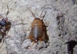 Myrmecophilus oregonensis; Oregon Ant Cricket