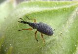 Rhopalapion longirostre; Hollyhock Weevil; exotic