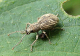 Calomycterus setarius; Imported Long-horned Weevil; exotic