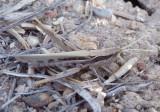 Cordillacris occipitalis; Spot-winged Grasshopper