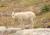 Mountain Goat; immature