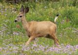 Mule Deer; female