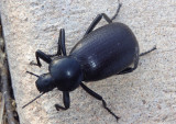 Eleodes obscurus; Darkling Beetle species